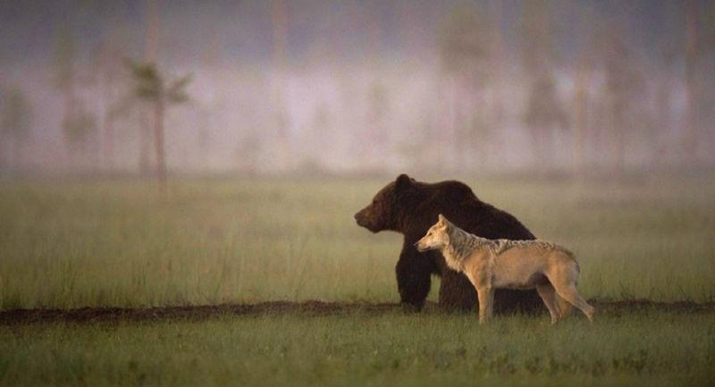 22835 Финский фотограф запечатлел необычную дружбу между волчицей и медведем