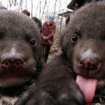 23067 Китаец два года принимал медведей за домашних собак