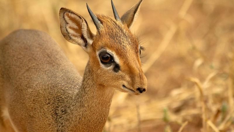 23859 Кения: дикдик — самая маленькая антилопа на свете