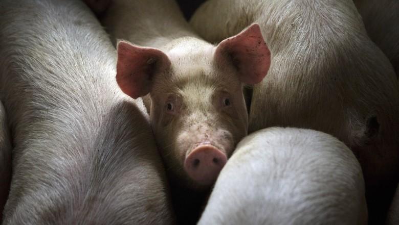 41313 Учёные продержали мозг свиньи в живом состоянии 36часов после обезглавливания