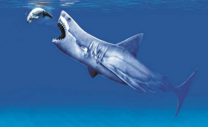 110785 Найден зуб, который потерял мегалодон 3 миллиона лет назад