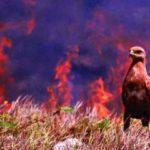 107911 Пернатые поджигатели австралийских лесов