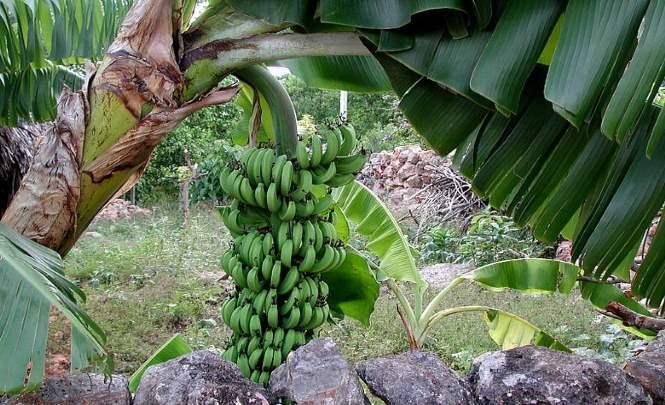 111567 Интересные сведения о бананах