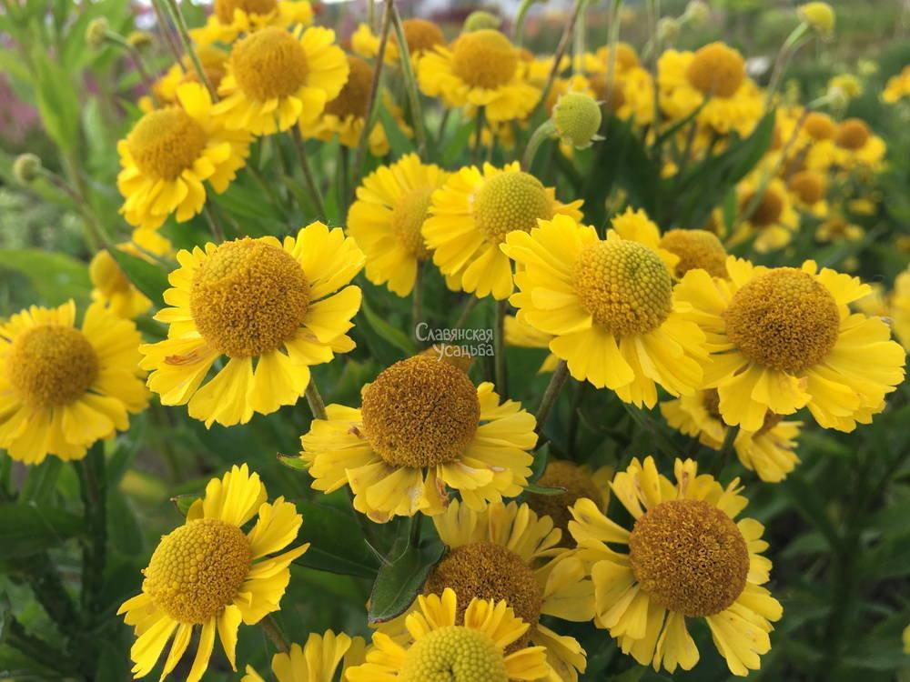 116163 Гелениум — солнечный цветок