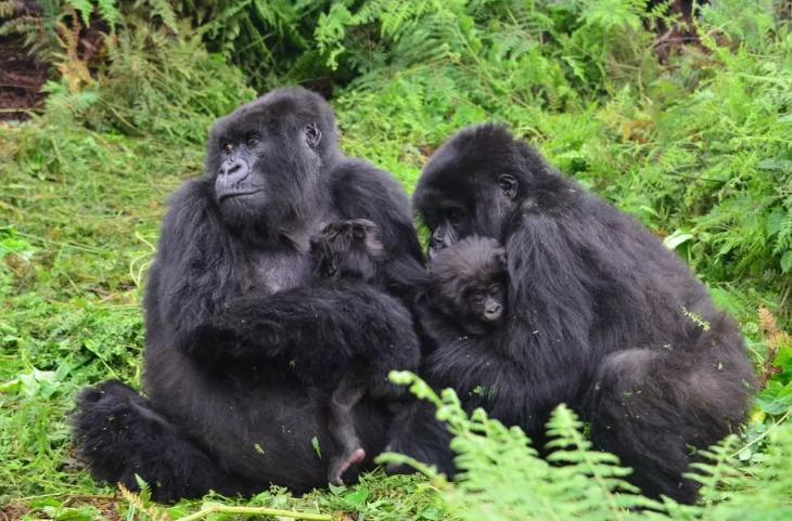 119056 Чтобы молодая мать смогла передохнуть, юная горилла решила понянчить ее ребенка