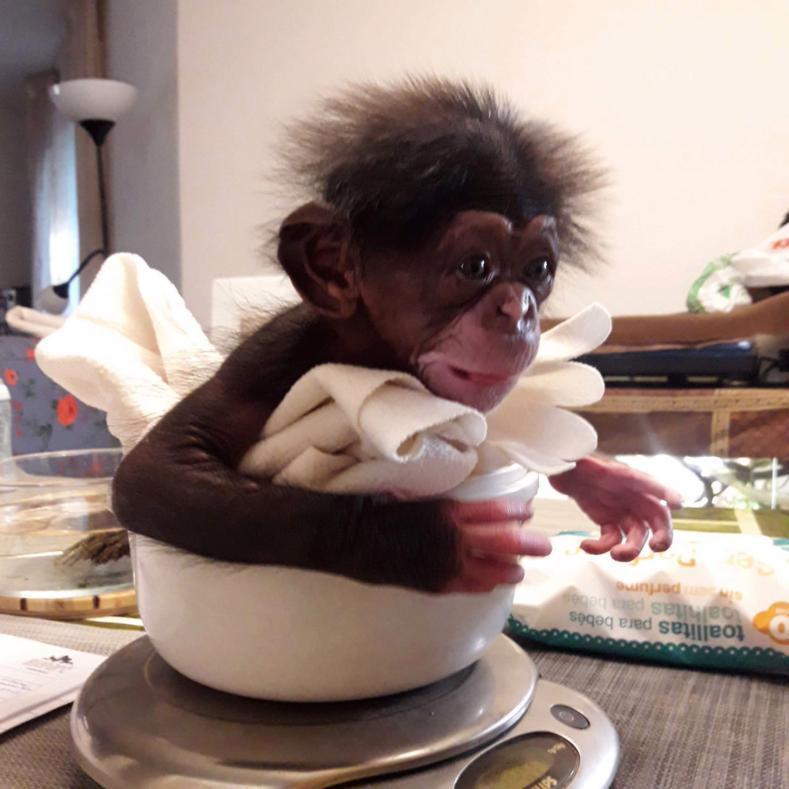 121514 Брошенному детенышу шимпанзе, мягкая игрушка, на время заменила маму