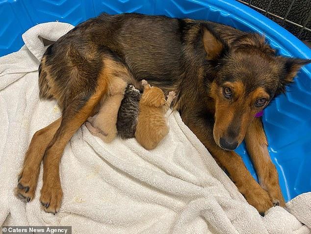 120912 Осиротевшим котятам стала приемной мамой собака по кличке Джорджия