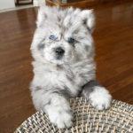 122460 Подросший щенок чау-чау Шеф — «Пестрое облако», демонстрирует новые таланты