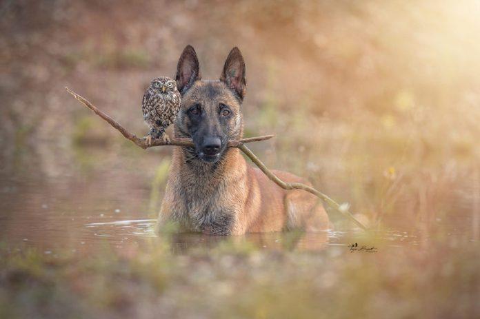 121979 Удивительный животный мир: больше 30 фотографий пса и его верной подруги совы