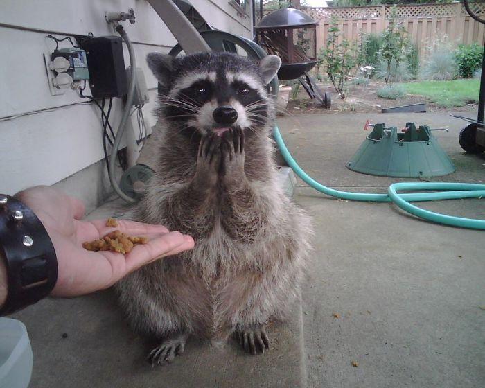 125134 Еноты с точки зрения зоологии – злостные, коварные и умелые вредители, но сполна компенсируют это мимимишностью